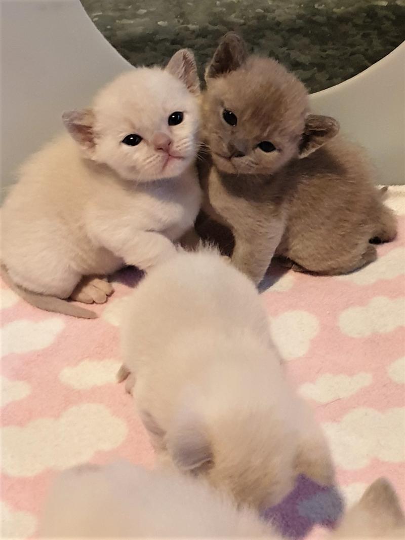 Recherche Burmese Cats Home